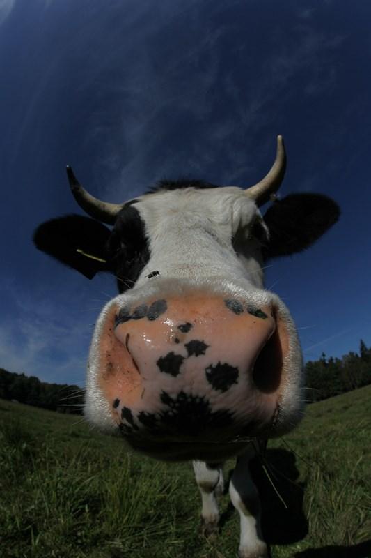 Szczęśliwa krowa z Jarów