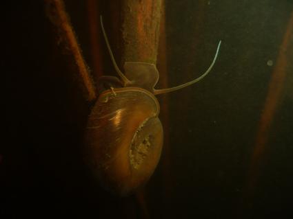 Zatoczek rogowy