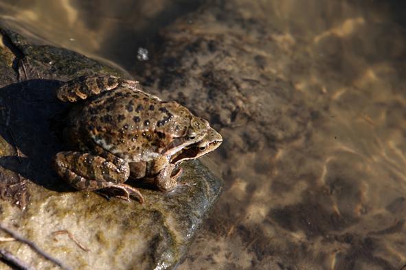 żaby trawne
