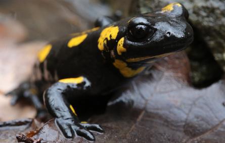 salamandra kk