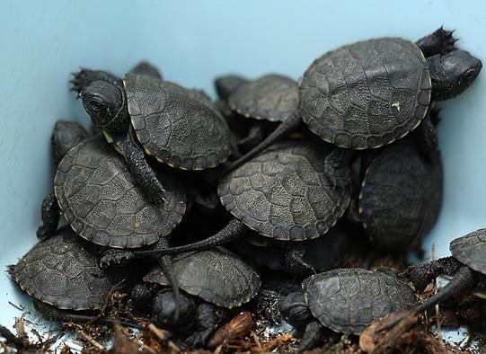 Żółwie błotne