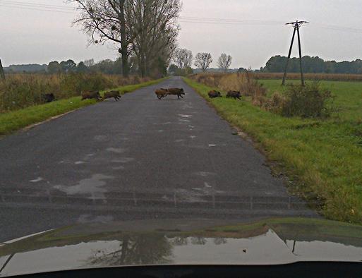 dziki na drodze