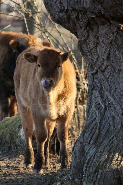 krowy Jy