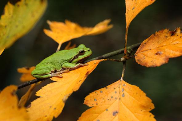 rzekotka jesień