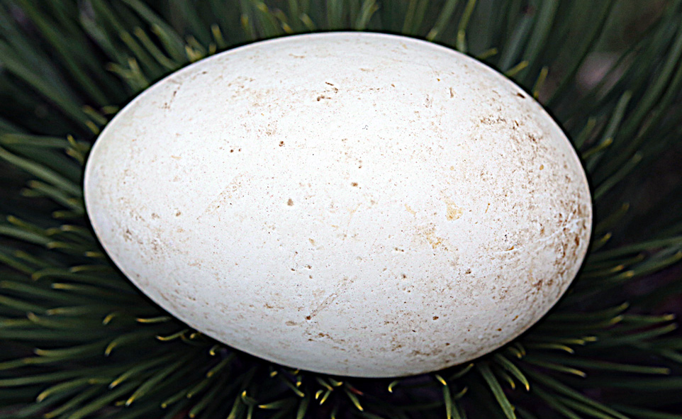 bocianie jajo