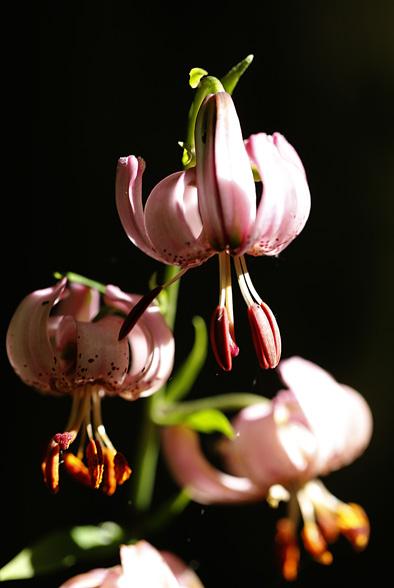 lilia złotogłówkk