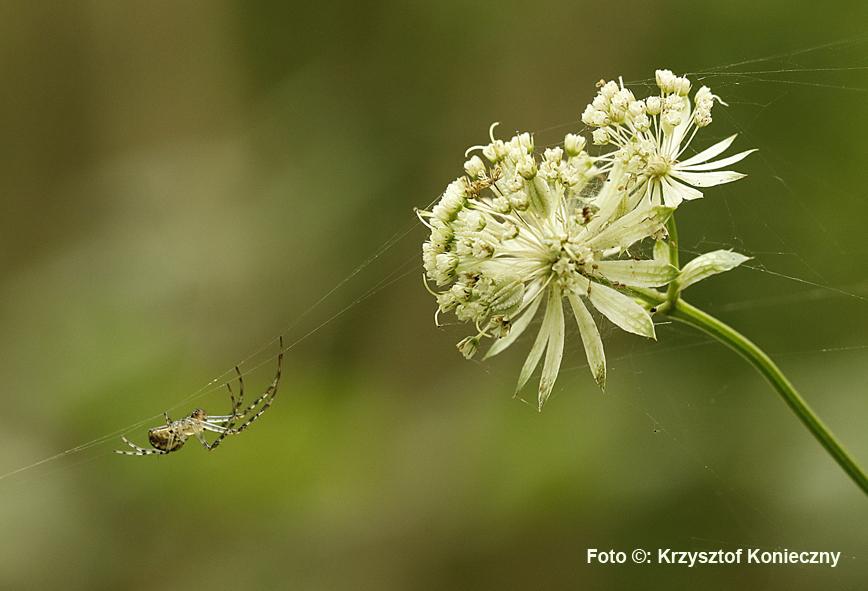 jarzmianaka i spiderKK