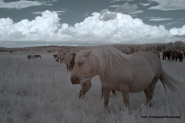 kk konie IR