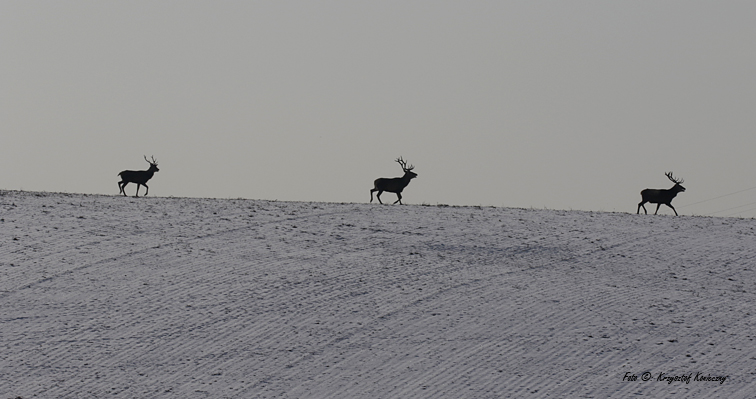 jeleń 5