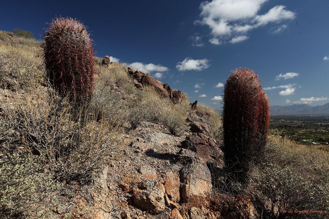 konieczny kaktusy arizona1