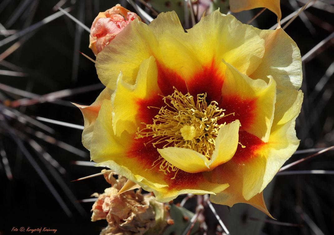konieczny kaktusy arizona10