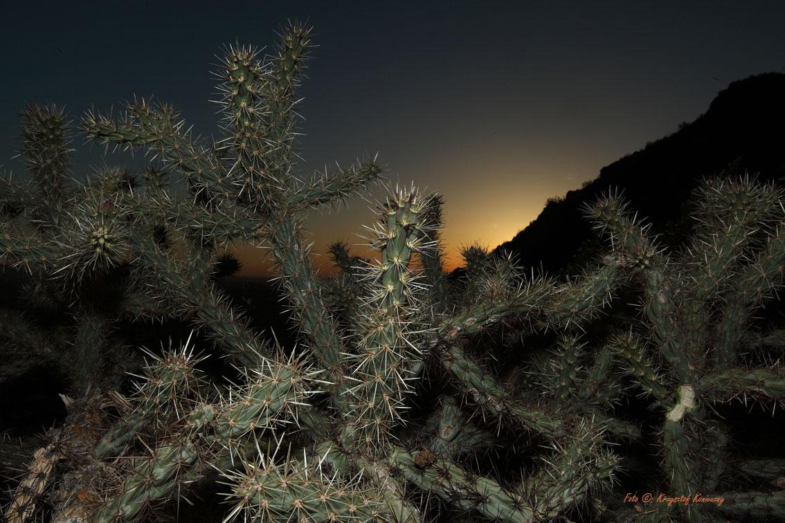 konieczny kaktusy arizona17