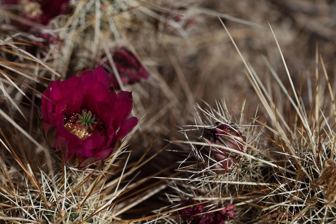 konieczny kaktusy arizona2