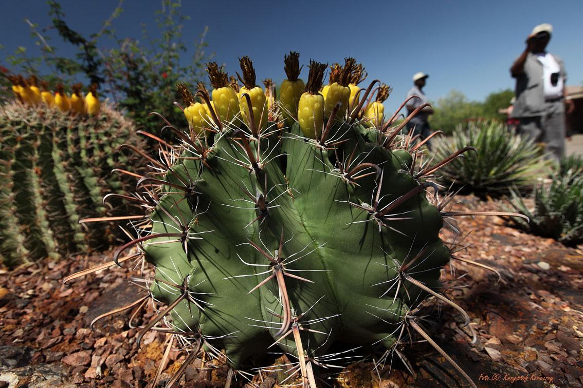 konieczny kaktusy arizona6
