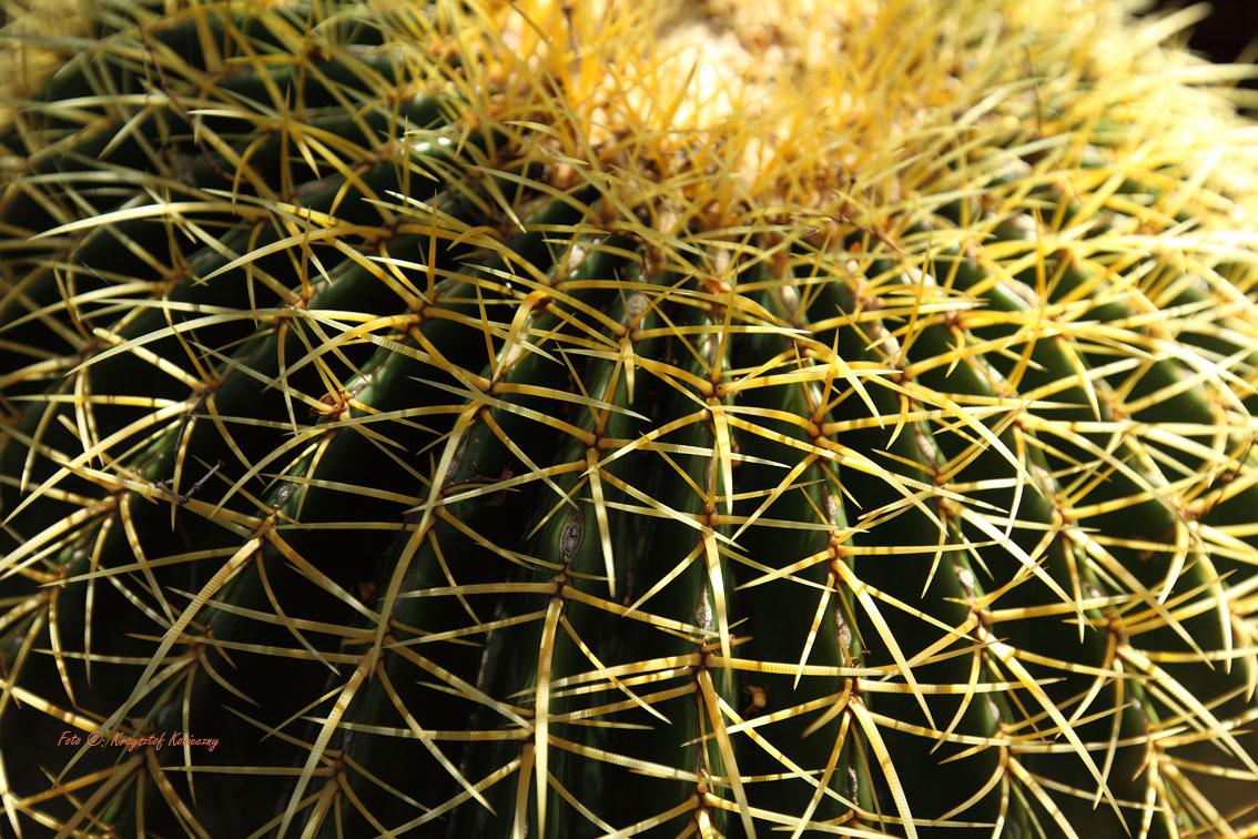 konieczny kaktusy arizona7
