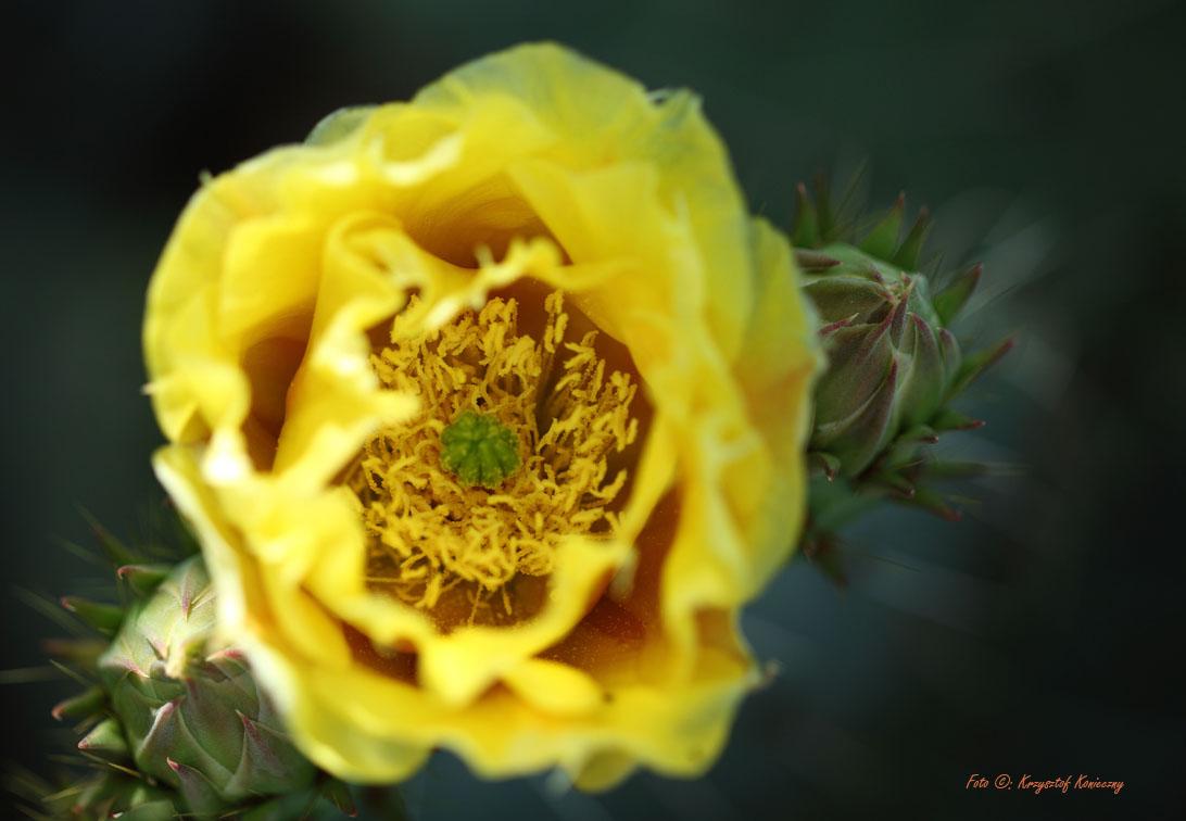 konieczny kaktusy arizona8