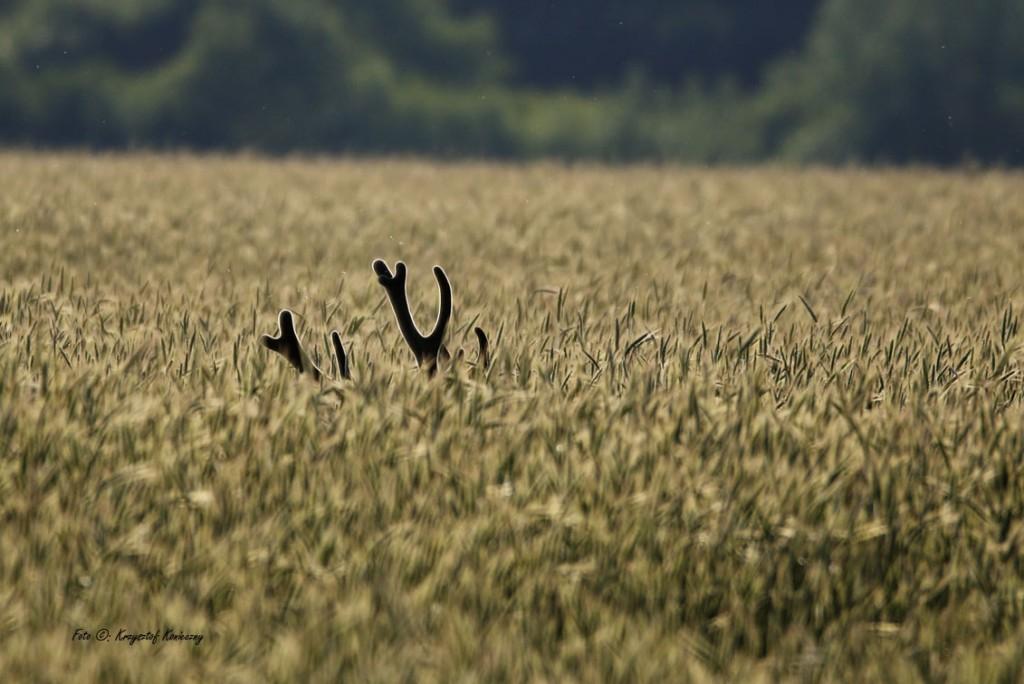 jeleń rogi