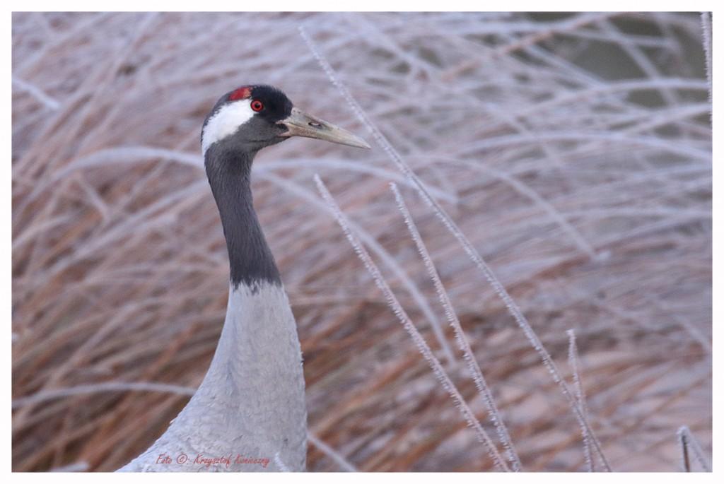 crane winter4